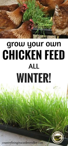 Grow your own chicken feed all winter long using fodder.  #chicken #farm #homestead