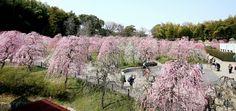 満開になったしだれ梅=名古屋市天白区の市農業センター、飯塚悟撮影