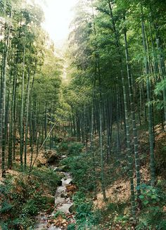 Bamboo forest surrounding Moganshan.