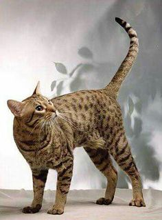 The Ocicat Cat is an all-domestic breed of cat which resembles a wild cat but has no wild DNA in its gene pool. The breed is unusual in that it is spotted like a wild cat but has the temperament of a domestic animal. Exotic Cat Breeds, Exotic Cats, Domestic Cat Breeds, Hypoallergenic Cats, Purebred Cats, Ocicat, Sand Cat, Egyptian Mau, Types Of Cats