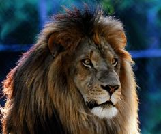 """Shutterbug Photo of the Day: """"King of the Lions"""" by Roger Becker 