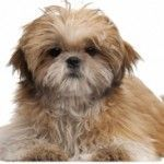 Frequent Shih Tzu grooming can be expensive. It can be a huge cost saving if you can learn how to groom a Shih Tzu at home - a Shih Tzu grooming kit helps. Baby Shih Tzu, Maltese Shih Tzu, Shih Tzu Puppy, Shih Tzus, Puppies Tips, Dogs And Puppies, Shitzu Puppies, Free Puppies, Shih Tzu Hair Styles