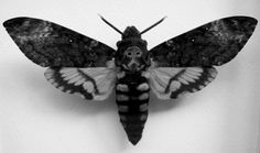 Death's Head Moth Vintage | death's head #moth #mazohist
