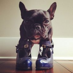 'Do you like my new Shoes I pinched from Mum's Wardrobe?' - French Bulldog