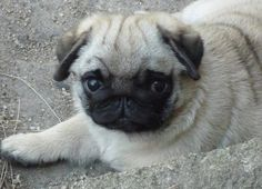 HOLY MOLY adorable pugness Look at those wrinkles lol