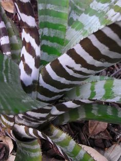 Zebra striped bromeliad. Aechmea chantinii
