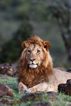 """ Male Lion by Dietmar Willuhn "" Big Cats, Cute Cats, Lion Images, Lion Pictures, Lion Photography, Save Wildlife, Carnivore, Male Lion, Lion Of Judah"