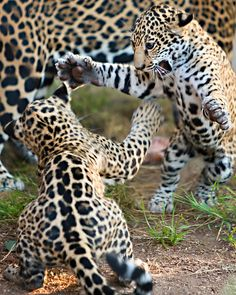 ^Playful Jaguar cubs - by WisteriaLane