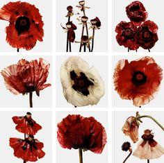 Nature - Flora: Flowers, Irving Penn