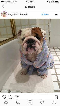 The major breeds of bulldogs are English bulldog, American bulldog, and French bulldog. The bulldog has a broad shoulder which matches with the head. Cãezinhos Bulldog, English Bulldog Puppies, Mini English Bulldogs, English Bulldog Funny, American Bulldog Puppies, Funny Bulldog, French Bulldogs, Cute Baby Animals, Funny Animals