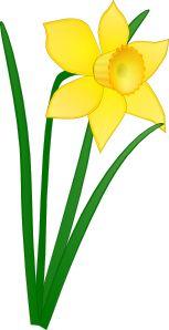 Daffodil clip art - vector clip art online, royalty free & public domain