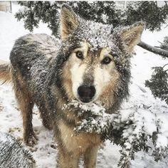 Winter snow wolf. Pinterest: pearlxoxoxo