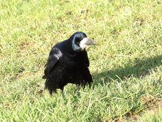 Corbeau freux - Corvus frugilegus - Rook by Thomas Humbert (Mr le Freux)