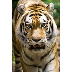 Tiger Indianapolis Zoo Indianapolis Usa Canvas Art - Gregory Byerline Design Pics (11 x 17)