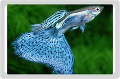 Image detail for -photo of poecilia reticulata, Blue Glass Guppy Fish