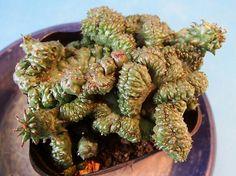 サボテン 多肉植物 96 ユーホルビア ホリダ綴化 Euphorbia_画像1