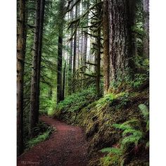 || Photo from @tkloregon || Silver Falls State Park offers more than 25 miles of backcountry trails for mountain biking hiking or horseback riding. The trails are lined with lush vegetation and remnants of old-growth forests. Wildlife is abundant (text from oregonstateparks.org) || Image selected by @ericmuhr || Join us in exploring Oregon wherever you are and tag your finds to #Oregonexplored || #SilverFalls #SilverFallsStatePark #Oregon || by oregonexplored