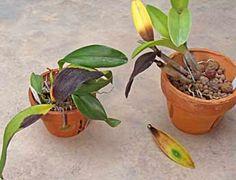 A podridão negra é uma das mais temíveis doenças que atacam orquídeas.   É mais comum seu surgimento em épocas chuvosas ou quando o cultiv...