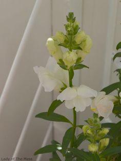 valkoinen kukka - www.ladyofthemess.fi