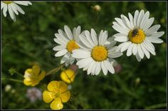 Ox Eye Daisies and Buttercups | Flickr - Photo Sharing!