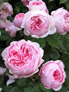 """Rose """" Geoff Hamilton """" , (AUSham) , David C. H. Austin (United Kingdom, 1997)"""