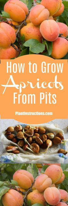 Apricot trees are easier to grow than you'd think!