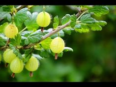 Schnitt von Sommerhimbeeren , Himbeeren schneiden | GARTEN - YouTube