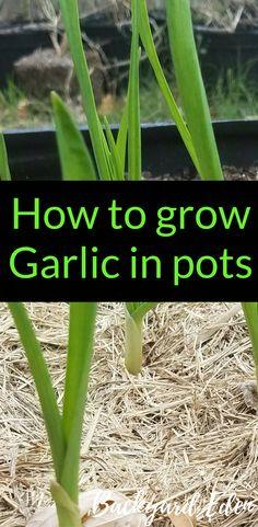 How to grow Garlic in pots | Growing Garlic in pots | Container Gardening | Container Gardening Tips | Backyard-Eden.com