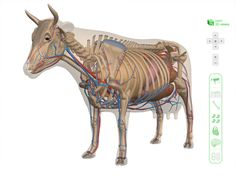 3d-viewer cow anatomy. (see blog)