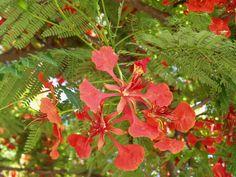 fleur de flamboyant - ile de la réunion - océan indien