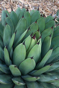 'little shark' agave