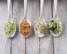 germinados - un vídeo muy completo de cómo hacer germinados de lentejas, trigo, fregol de Castilla y alfalfa