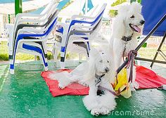 Two White Poodle On A Red Mat Summer - Download From Over 36 Million High Quality Stock Photos, Images, Vectors. Sign up for FREE today. Image: 57356407