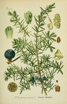 Genévrier commun   Juniper   Juniperus communis   Flora von Deutschland, Österreich und der Schweiz.. Gera,Zezschwitz,1903-. biodiversitylibrary.org/page/12306488