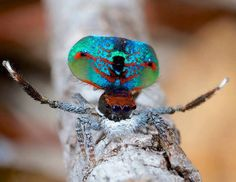 Male Peacock Spiders put on quite a show to attract a mate. In addition to flashing their bright colors, they also tap and extend their legs. These little jumping spiders are 4 mm long and are only found in Eastern Australia.