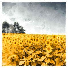 https://www.etsy.com/nl/listing/178591408/color-photography-sunflower-decor