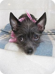 FRAN...CA...West Hollywood, CA - Chinese Crested/Terrier (Unknown Type, Small) Mix. Meet Fran-Loving Cuddlebug Who Likes to Burrow, a dog for adoption. http://www.adoptapet.com/pet/9070386-west-hollywood-california-chinese-crested-mix