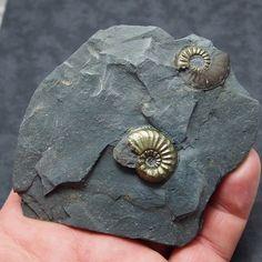 Amaltheus in stone.PYRITE AMMONITE FOSSIL NATURAL  Jurassic period Pliensbach