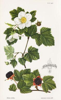 Rubus trilobus - William Curtis Botanical Prints from Curtis Botanical Magazine 1948 and After
