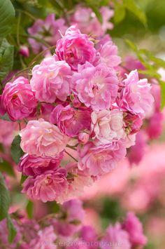"Flight"" – Rose by Tina & Horst Herzig Photography – Garden Likes Flower Wall, My Flower, Flower Power, Beautiful Roses, Pink Flowers, Beautiful Flowers, Flowers For Algernon, Rose Foto, Every Rose"