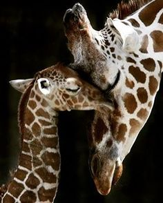 Happy Mother's Day #april #giraffe #mom #love #unconditionally #unconditionallove #twolegged #fourlegged #mothers #rock #animal #moms #jirafa #cutenessoverload #happymothersday