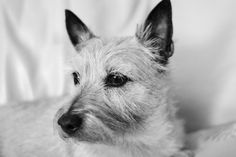 Holly dog - Holly the Cairn Terror.
