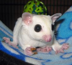 Leucistic or BEW (Black-eyed White) Sugar Glider. They are all white but do not have the red eye-coloring of the albino. Instead, they have a dark brown/black eye-coloring.