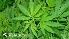 Cannabis found to help healing process of bone fractures | Natural News Blogs | Bloglovin'
