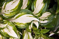 Árnyliliom (Hosta) gondozása, szaporítása Aloe, Plant Leaves, Vegetables, Plants, Minden, Gardens, Health, Health Care, Vegetable Recipes