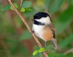 Is the chickadee population in decline in Michigan? | Michigan Radio