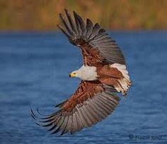fish eagle - Google Search