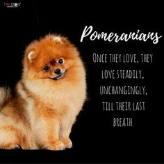 Pomeranian Facts, Cute Pomeranian, Toy Pom, Bullet Journal Ideas Pages, All Dogs, Beautiful Dogs, Cute Baby Animals, Puppy Love, Fur Babies