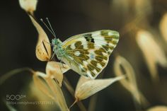 Golden Wings... by Sina_ps #nature #photooftheday #amazing #picoftheday