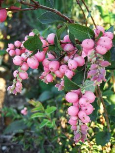 At first glance, you may not think Sweet Sensation snowberry is real in the fall when it's essentially covered in rose-pink, pearl-shape fruits--how beautiful!
